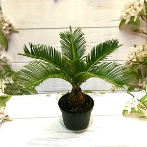 Baby Sago Palm Tropical Plant